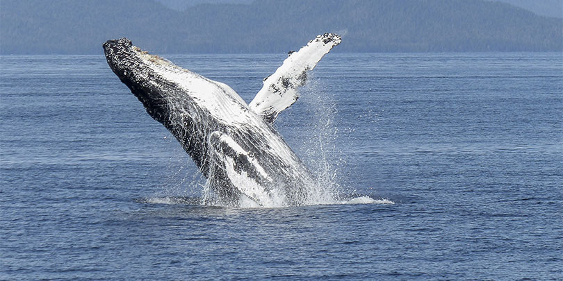 Thrive Humpback Whale